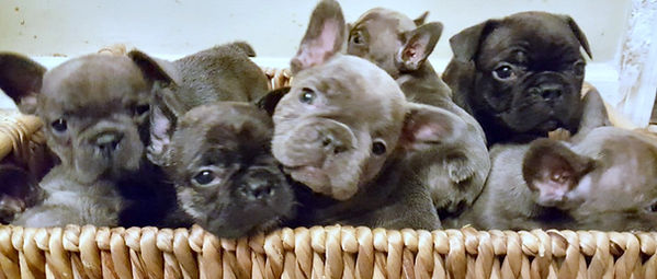 basket of frenchies.jpg