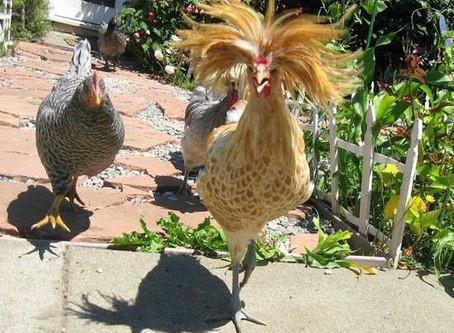 Penas têm as galinhas...