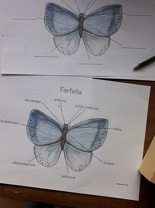 Anatomia Semplice /Farfalla