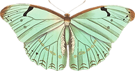 ArgentineButterfly ok.png