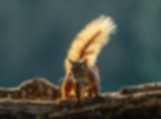 Squirrel bright and bushy tail.jpg