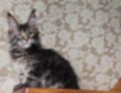 Котёнок Мейн кун сочи