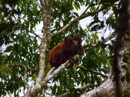 🇧🇷 A Guia Naturalista em Campo: Observação de primatas na Reserva Mamirauá