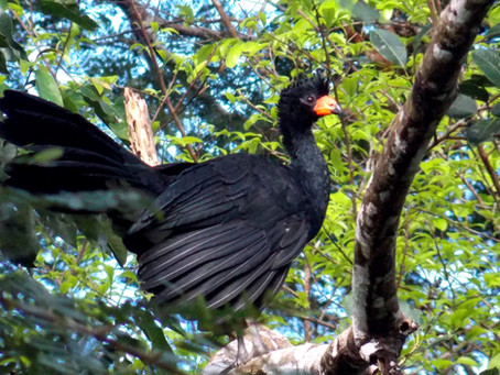 🇬🇧 The Naturalist Guide in the Field: Wattled curassow – the rare and threatened bird that h