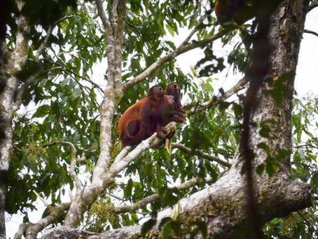 🇧🇷 O assustador (mas absolutamente inofensivo) macaco guariba da Reserva Mamirauá