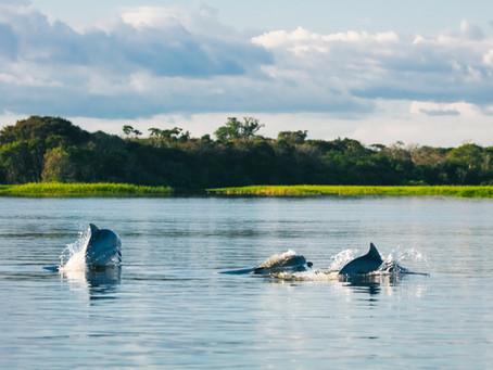 🇬🇧 Tucuxis: the Amazon acrobat river dolphins