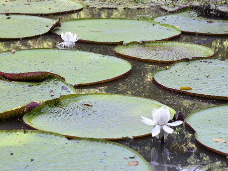 🇬🇧 The Naturalist Guide in the field: The Giant water-lily