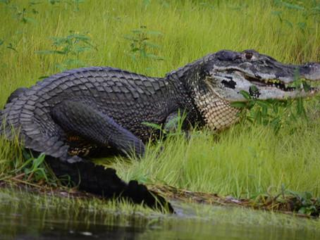 🇧🇷 A Guia Naturalista em campo: notas sobre os jacarés na Reserva Mamirauá