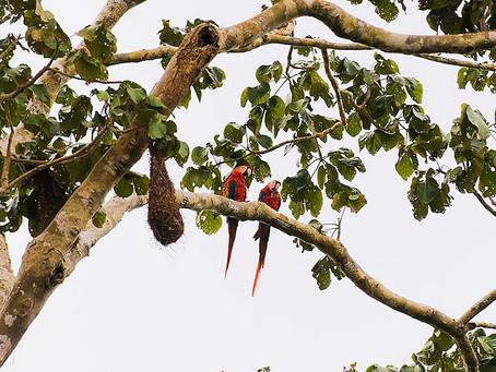 🇧🇷 A Guia Naturalista em campo: Sobre araras, periquitos e papagaios 🦜🦜🦜