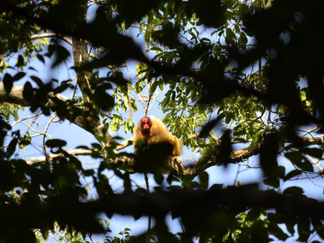 🇬🇧 The Naturalist Guide in the Field: Primate watching at Mamirauá Reserve