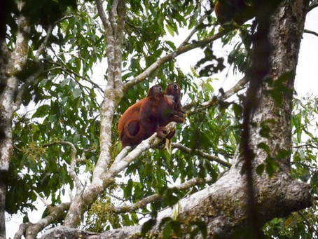 🇬🇧 The scary (but absolutely harmless) red howler monkey at Mamirauá Reserve