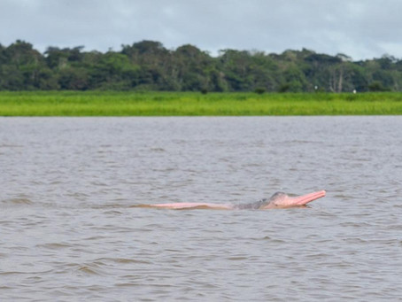 🇬🇧 The naturalist guide in the field: The enchanted Pink-river dolphins