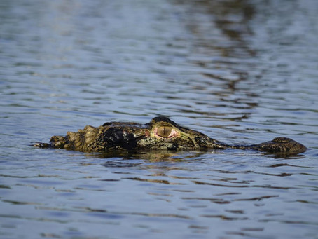 🇬🇧 The Naturalist Guide in the field: notes on alligators at Mamirauá Reserve