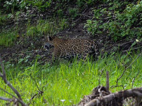 🇬🇧 The naturalist guide in the field: The jaguars at Mamirauá Reserve