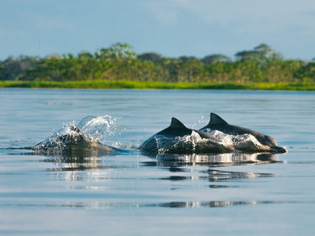 🇧🇷 Tucuxis: os golfinhos acrobatas da Amazônia