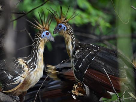 🇧🇷 A Guia Naturalista em Campo: Cigana – uma ave pré-histórica entre nós