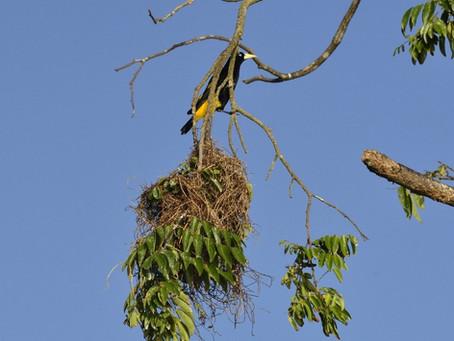 🇧🇷 Japiim: o pássaro artesão e imitador da Reserva Mamirauá