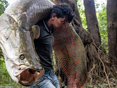 🇬🇧 The Naturalist Guide in the Field: Arapaima – the big fish and its wonderful peculiaritie