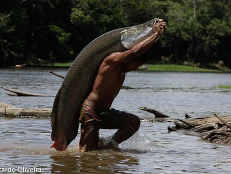 🇧🇷 A Guia Naturalista em Campo: Pirarucu – o peixe grande e suas maravilhosas particularidad