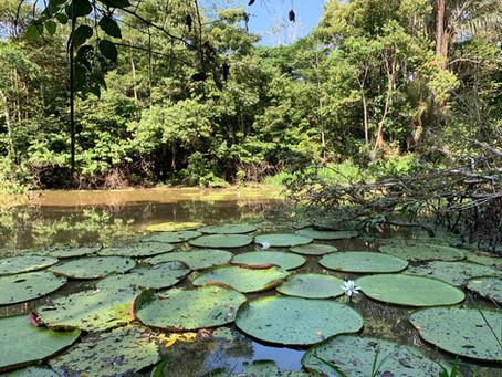 🇧🇷 A Guia Naturalista em Campo: Vitória-régia