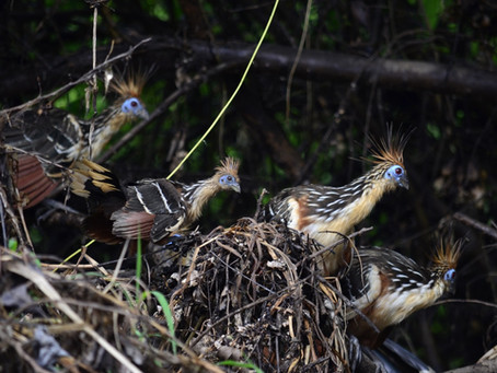 🇬🇧 The Naturalist Guide in the field: Hoatzin – a prehistoric bird among us