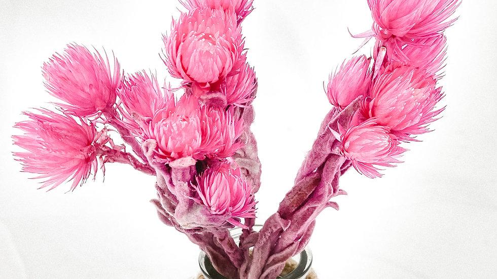 "Strohblume ""Pink"""
