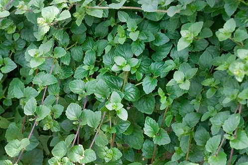 Satureja Indian Mint (Strukturpflanze)