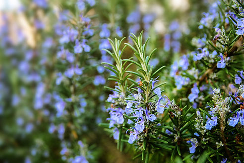 blossoming rosemary plants in the herb g