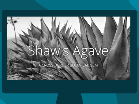Shaw's Agave: A Cross-border Botanical Gem
