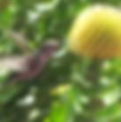 hummingbird_SD_pairis.jpg