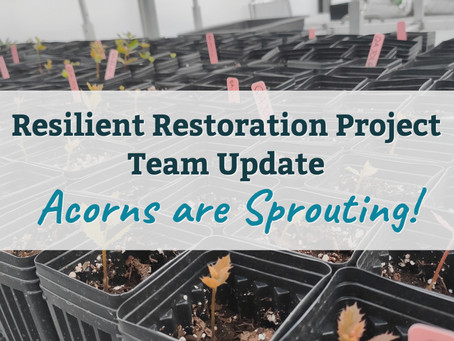 Acorns are Sprouting! Update from the Resilient Restoration Project Team
