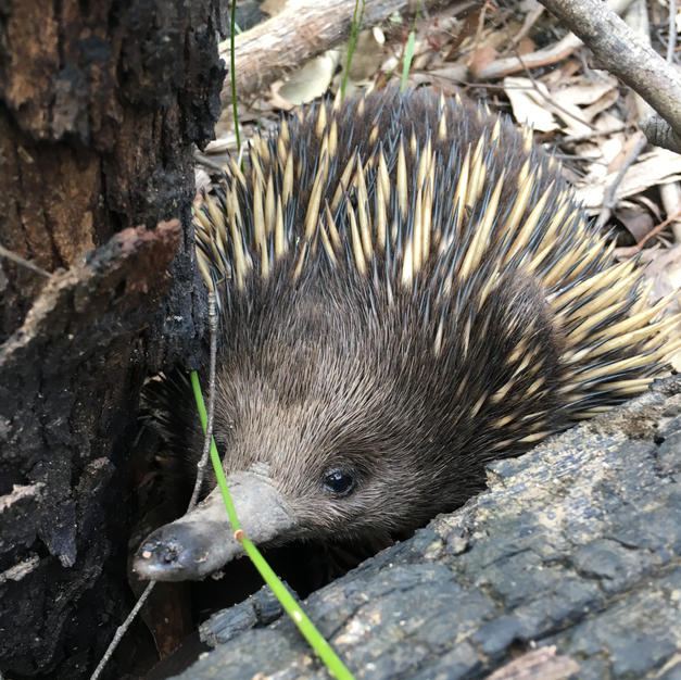 The smiling Echidna