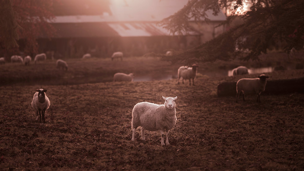 Chateau & Sheep