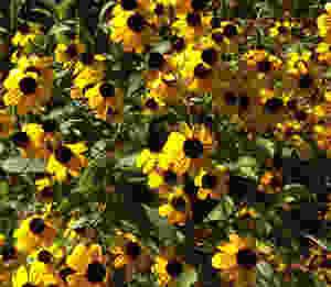 Black-eyed Susan blooms.