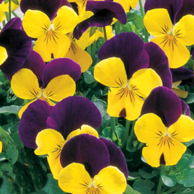 Viola - Yellow Jump-Up