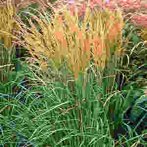 'Karl Foerster' Reed Grass