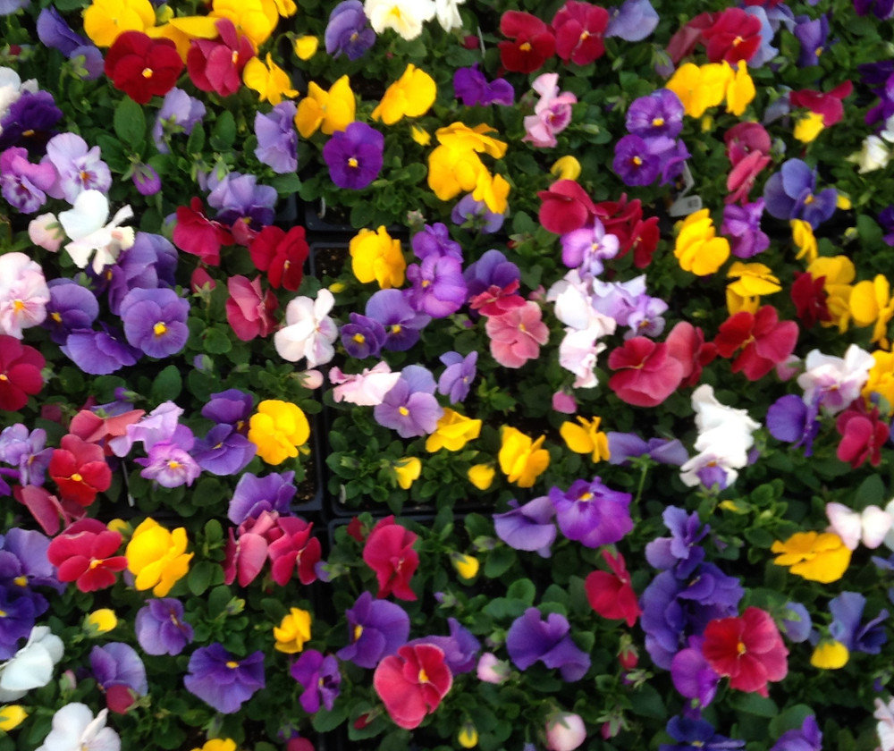'My Monet' Mixed Pansies