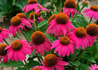 Echinacea - Pow Wow Wildberry -1 Gallon