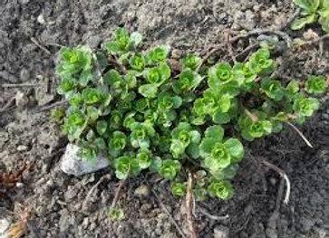 "Sedum Ground Cover - Yellow Flower - 4"" Perennial"