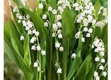 Lily of the Valley -1 Gallon