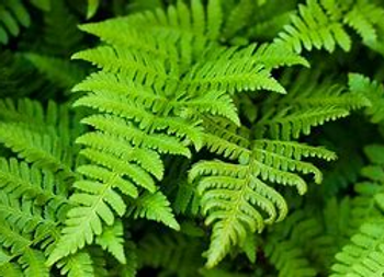 Common Fern -1 Gallon