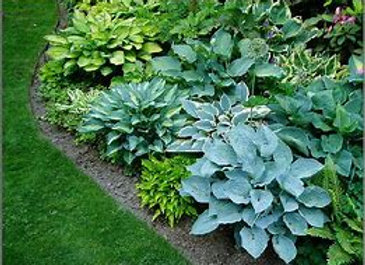 Large Hosta - 3 Gallon