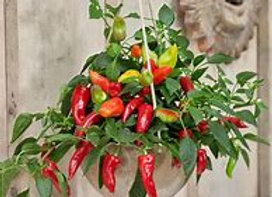 "Pepper - Spicy Jane - 4"""
