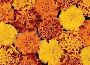 Marigold - Bonanza 4 pack