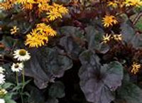 Ligularia -1 Gallon