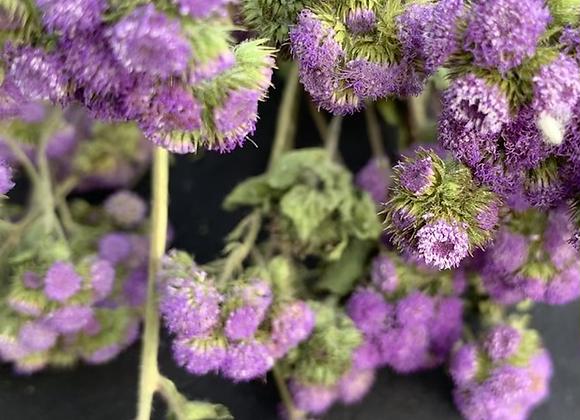 Dried Argeratum Bouquet