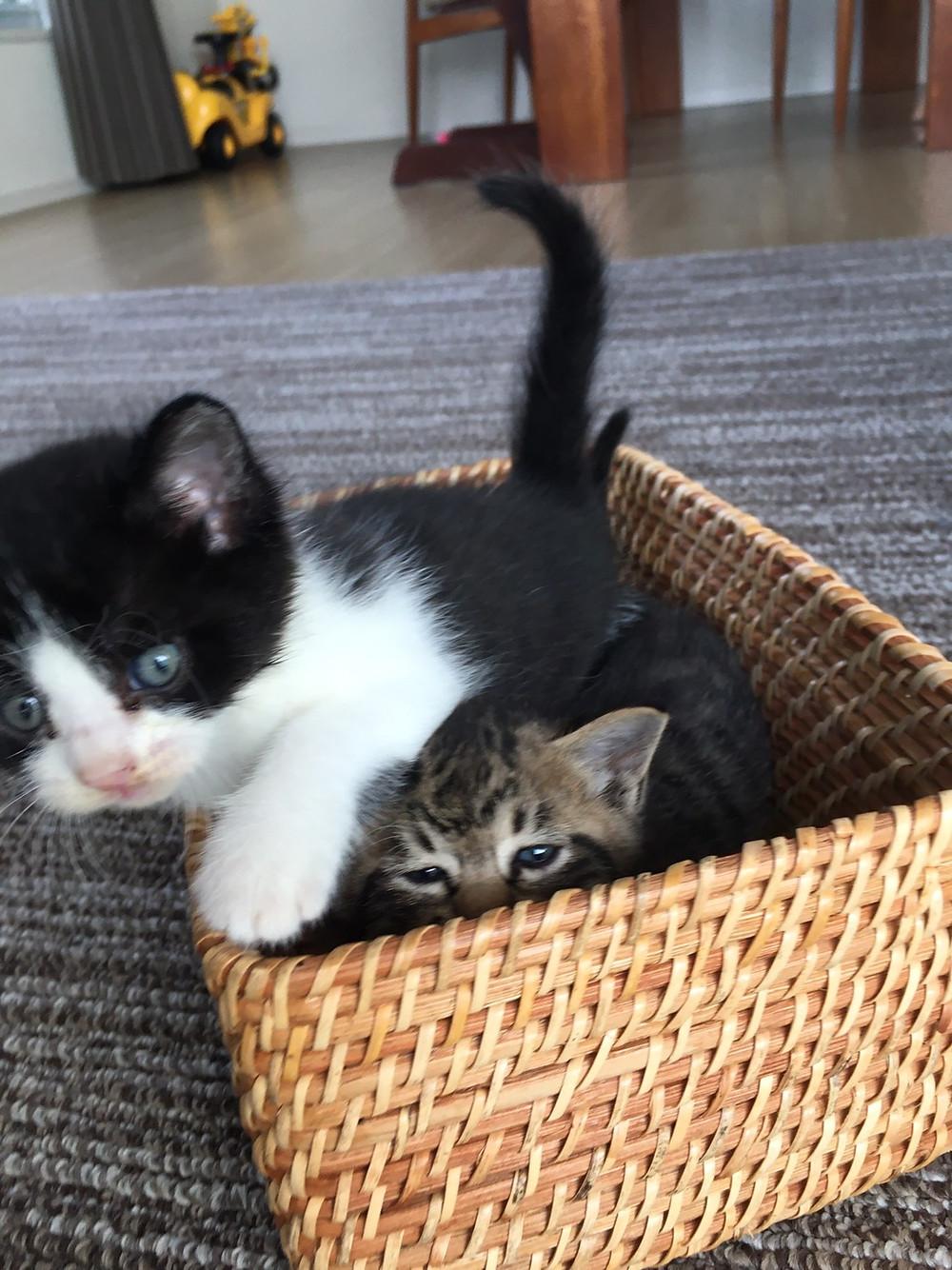 カゴに入った2匹の子猫