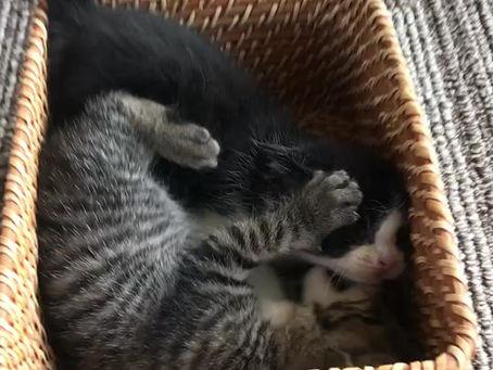 1ヶ月の子猫ちゃんの里親募集
