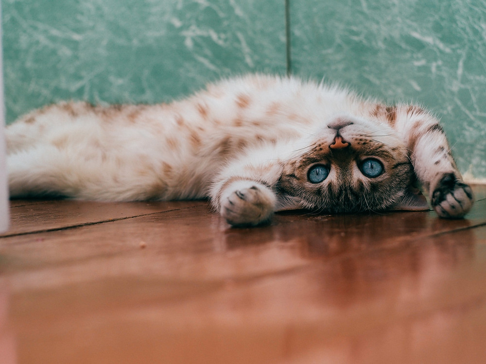 寝そべってる猫