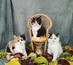 Caramel Cookie & Clementine C-kull